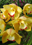 Sequoia Orchids & Redwoods | Best Yet Yellow Orchid