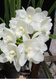 Sequoia Orchids & Redwoods | Alba White Snow Orchid